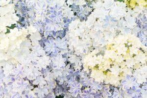 紫陽花の写真素材